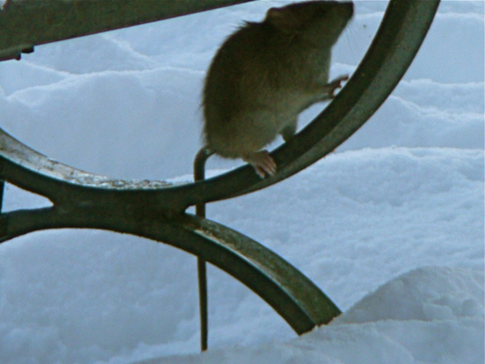 Ratty in the Snow